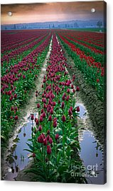 Skagit Valley Tulips Acrylic Print by Inge Johnsson