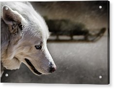 Sled Dog Acrylic Print by Bob Orsillo