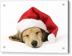 Sleeping Santa Puppy Acrylic Print by Greg Cuddiford