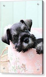 Sleepy Mini Schnauzer Acrylic Print by Stephanie Frey