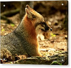Sly Rare Grey Fox  Acrylic Print by Inspired Nature Photography Fine Art Photography