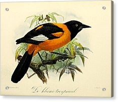 Small Oriole Acrylic Print by J G Keulemans