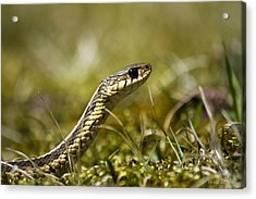 Snake Encounter Close-up Acrylic Print by Christina Rollo