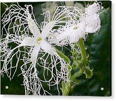snake Gourd flower Acrylic Print by Alfred Ng