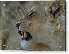 Snarl Acrylic Print by Stefan Carpenter