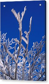 Snow And Ice Coated Branches Acrylic Print by Anonymous