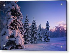 Snow Covered Spruce Trees At Sunset Acrylic Print by Kevin Smith