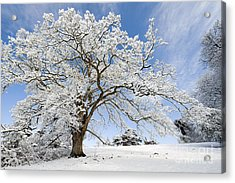 Snow Covered Winter Oak Tree Acrylic Print by Tim Gainey