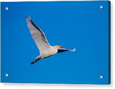 Snow Egret In Flight Acrylic Print by Andres Leon