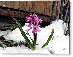 Snow Flower Acrylic Print by Fiona Kennard