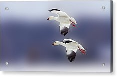 Snow Goose Flight Acrylic Print by Bill Tiepelman