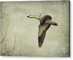 Snow Goose In Flight Acrylic Print by Jeff Swanson