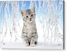 Snow Kitten Acrylic Print by Greg Cuddiford