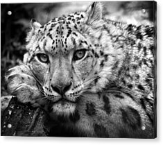 Snow Leopard In Black And White Acrylic Print by Chris Boulton
