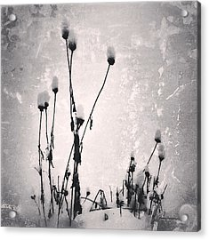 Snow On Pods Acrylic Print by Patricia Januszkiewicz