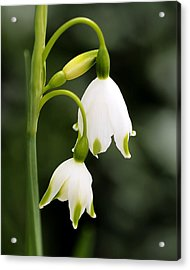 Snowbells In Spring Acrylic Print by Rona Black