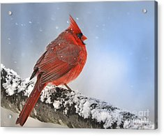 Snowing On Red Cardinal Acrylic Print by Nava  Thompson
