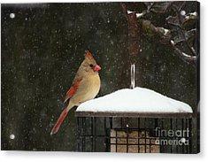Snowy Cardinal Acrylic Print by Benanne Stiens