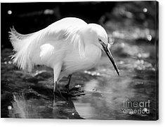 Snowy Egret Acrylic Print by Jennifer Magallon