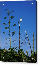 Snowy Egret On Yucca Perch Acrylic Print by John Myers