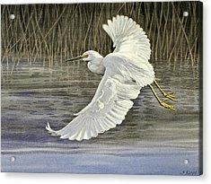 Snowy Egret Acrylic Print by Paul Krapf