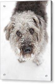 Snowy Faced Pup Acrylic Print by Natalie Kinnear