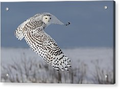 Snowy In Action Acrylic Print by Mircea Costina Photography