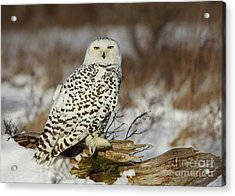 Snowy Owl At Sunset Acrylic Print by Inspired Nature Photography Fine Art Photography