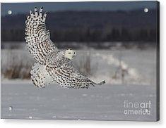 Snowy Owl In Flight Acrylic Print by Mircea Costina Photography