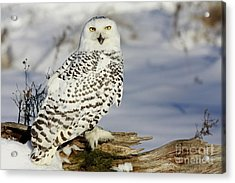 Snowy Owl On A Winter Hunt Acrylic Print by Inspired Nature Photography Fine Art Photography