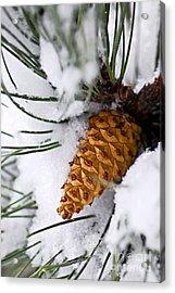 Snowy Pine Cone Acrylic Print by Elena Elisseeva