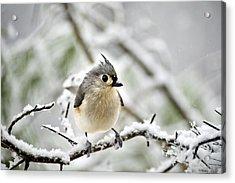 Snowy Tufted Titmouse Acrylic Print by Christina Rollo