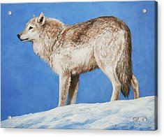 Snowy Wolf Acrylic Print by Crista Forest