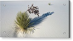 Soaptree Yucca Yucca Elata At Sand Acrylic Print by Panoramic Images