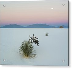 Soaptree Yucca Yucca Elata In Dawn Acrylic Print by Panoramic Images