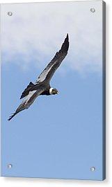 Soaring Condor Acrylic Print by Tim Grams