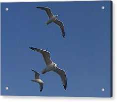 Soaring Seagulls Acrylic Print by Noreen HaCohen