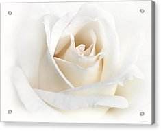 Soft Ivory Rose Flower Acrylic Print by Jennie Marie Schell