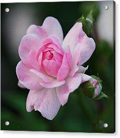 Soft Pink Miniature Rose Acrylic Print by Rona Black