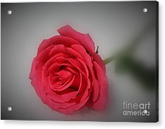 Soft Red Rose Acrylic Print by Yumi Johnson
