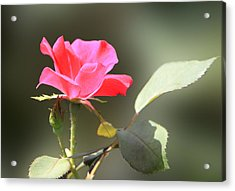 Soft Tender Old Fashioned Rose Acrylic Print by Linda Phelps