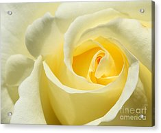 Soft Yellow Rose Acrylic Print by Sabrina L Ryan