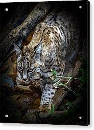 Soften Bobcat Acrylic Print by Elaine Malott