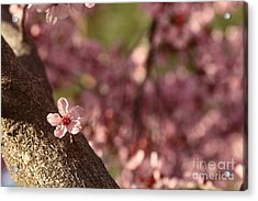 Solo In The Blossom Chorus Acrylic Print by Jennifer Apffel