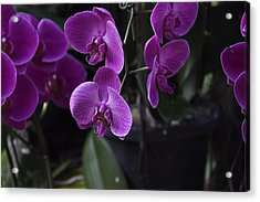 Some Very Beautiful Purple Colored Orchid Flowers Inside The Jurong Bird Park Acrylic Print by Ashish Agarwal