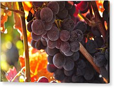 Sonoma Grapes Acrylic Print by Michael Dyer