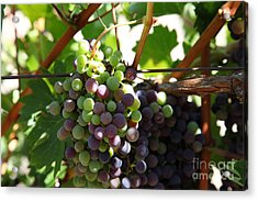 Sonoma Vineyards In The Sonoma California Wine Country 5d24578 Acrylic Print by Wingsdomain Art and Photography
