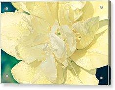 Soothing Daffodils Acrylic Print by Sonali Gangane