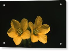 Sour Grass Flower Acrylic Print by Retro Images Archive