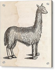 South American Camelid Acrylic Print by Middle Temple Library